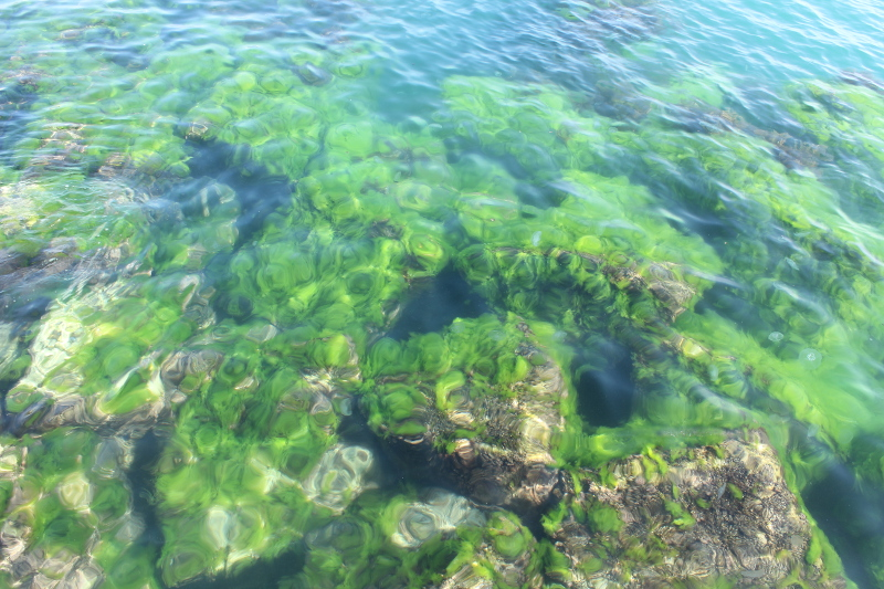 Медузы аурелии