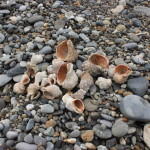 Рапаны на берегу моря