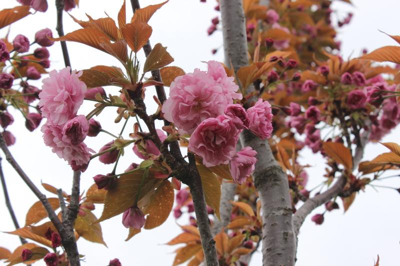 Цветы декоративной черешни