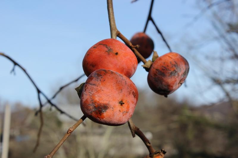 Плоды хурмы